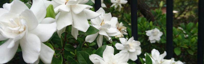 Header Gardenia - Garden Express Australia