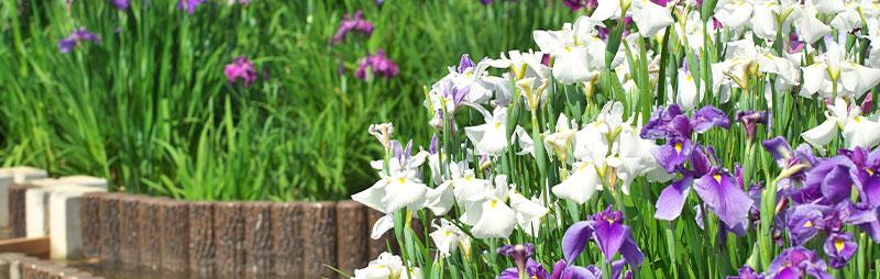 Header Japanese Iris