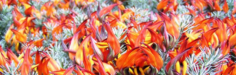 Header Lotus - Garden Express Australia