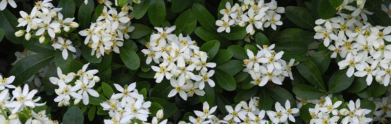Header Mexican Orange Blossom - Garden Express Australia