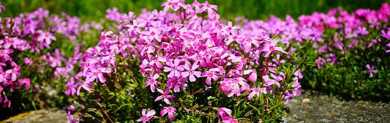 Header Perennial Phlox