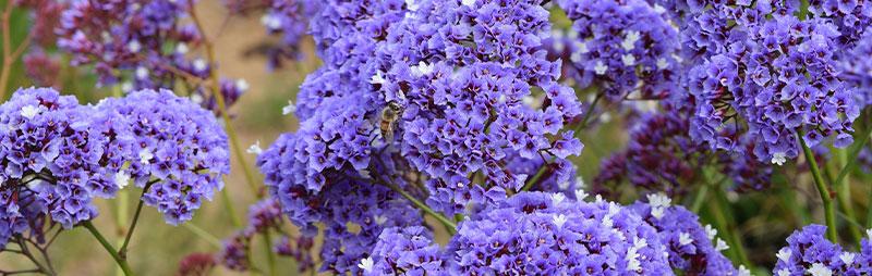 Header Sea Lavender - Garden Express Australia