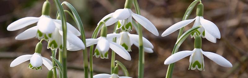 Header Snowdrop - Garden Express Australia