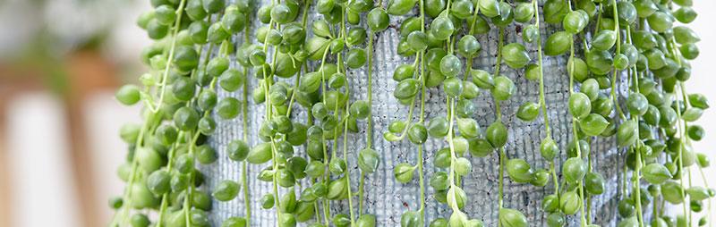 Header String Of Pearls