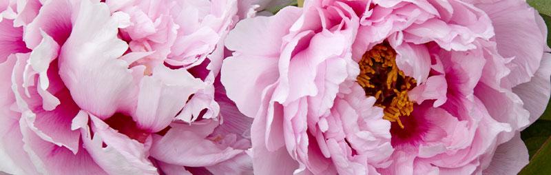 Header Tree Peony Rose - Garden Express Australia