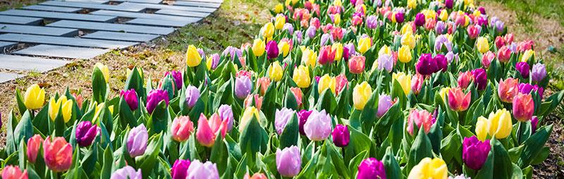 Header Tulip - Garden Express Australia