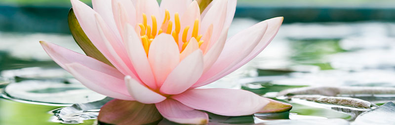 Header Water Lily - Garden Express Australia