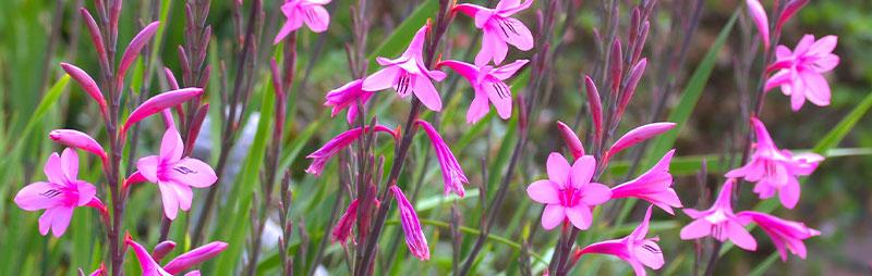Header Watsonia - Garden Express Australia