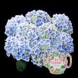 Hydrangea Tea Time Bicolour