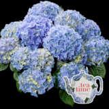 Hydrangea Tea Time Blue