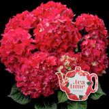 Hydrangea Tea Time Red