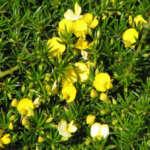 Pultenaea Pedunculata - Garden Express Australia