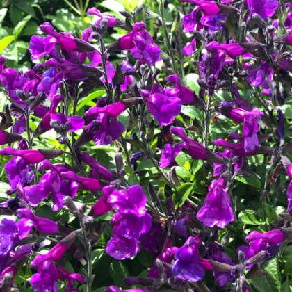 Salvia Ignition Purple
