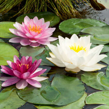 Water Lily Mixed