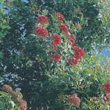 Wildflower Seed – Red Flowering Gum
