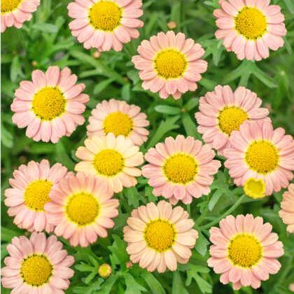Argyranthemum Angelic Sweets