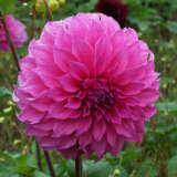 Dahlia Fairy Floss