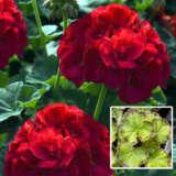 Geranium Marginata Red
