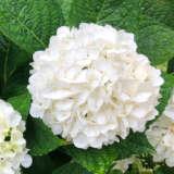 Hydrangea White 75mm