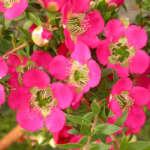 Leptospermum Lipstick Lpoleplip - Garden Express Australia