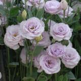 Lisianthus Helix Lavender