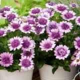 Osteospermum 3d Violetberry