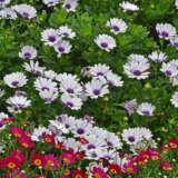 Osteospermum Akila White With Purple Eye