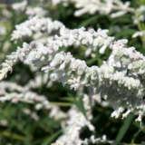 Salvia Velour White