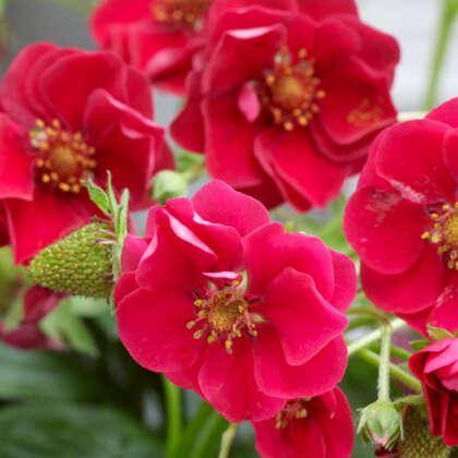 Strawberry Summer Breeze Rose