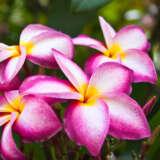 Frangipani Thomlinsons Pink