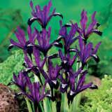 Iris Reticulata Purple Gem