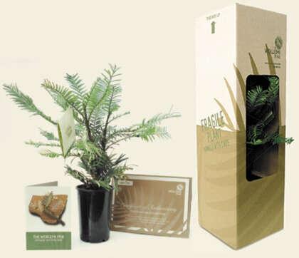 Wollemi Pine – 100mm Pot