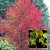 Acer Trident Maple
