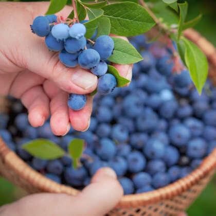 Blueberry Misty