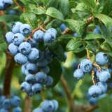 Blueberry Powder Blue