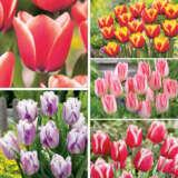 Tulip Triumph Bi Colour Collection