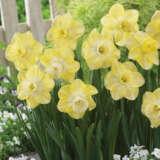 Daffodil Avalon