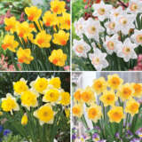 Daffodil Exquisite Collection
