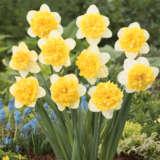 Daffodil Full House