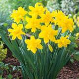 Daffodil Golden Ducat Pkdafgdu