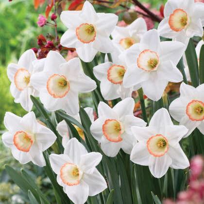 Daffodil High Society