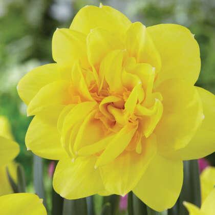 Daffodil Holland Chase