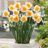 Daffodil Love Call Pkdaflca