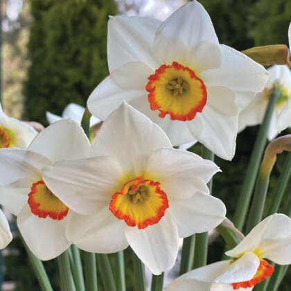 Daffodil Poetry In Moton Pkdafpim