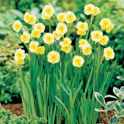Daffodil Sun Disc