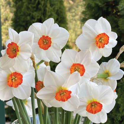 Daffodil Woodland Star