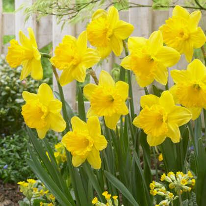 Daffodil Gigantic Star