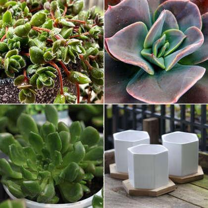 Gurus Succulent Collection 1 Plus Ceramic Pots