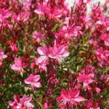 Gaura Dark Pink
