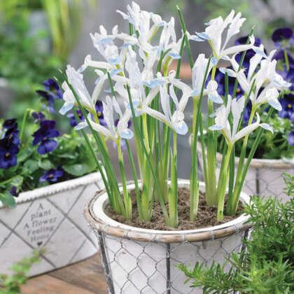 Iris Reticulata Frozen Planet Pkirefpl